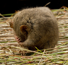 Dusky Antechinus by Catching the Eye