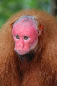 Red Uakari by Kevin O'Connell